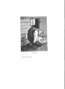 Girl milking a goat in Norway 1905