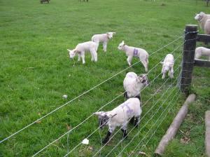 Lambs at Airfield 023
