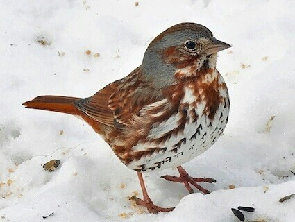 5cd2 red fox sparrow