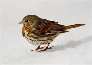 th fox sparrow