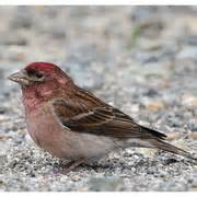 th red breated finch
