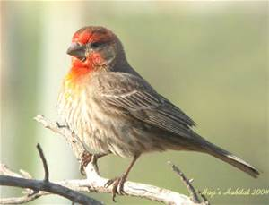 th sparrow like bird with red head