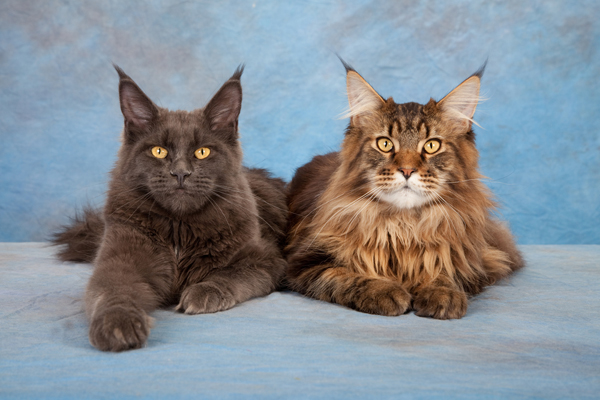 manx cat3  600px-maine-coon-cats
