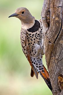 220px-Northern_Flicker from wikipedia