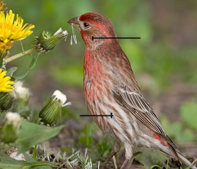 house-finch-id-male