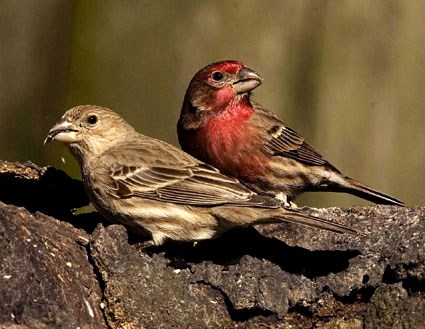 house_finch_6