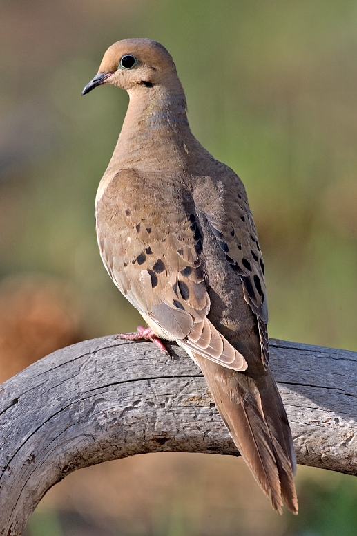 Mourning_Dove_2006