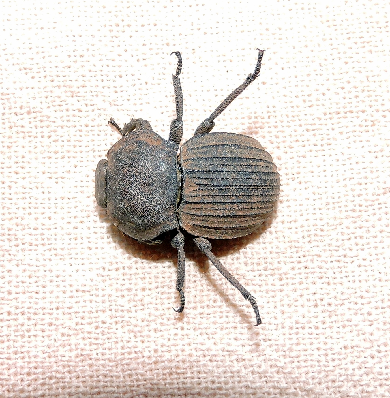 anomalipus-elephas-large-armored-darkling-beetle-copy