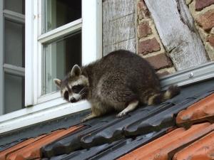raccoon-in-germany