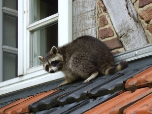 raccoon-in-germany