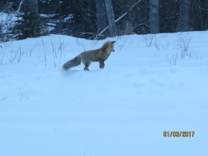 fox-in-bc-snow-l-rettberg