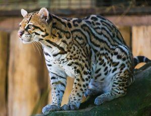 ocelot_jaguatirica_zoo_itatiba