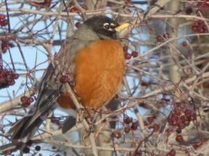 robin-from-naturalist-notebook
