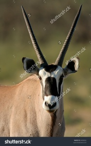 stock-photo-portrait-of-a-gemsbok-antelope-oryx-gazella-kalahari-desert-south-africa-8493052