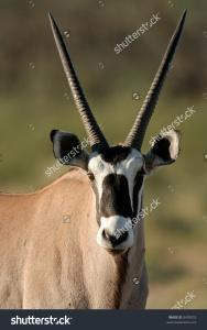 stock-photo-portrait-of-a-gemsbok-antelope-oryx-gazella-kalahari-desert-south-africa-8493052