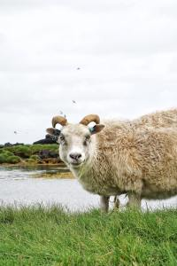 Sheep on Iceland