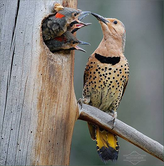 Northern Flicker feeding young ones