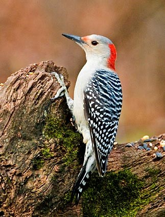 red_bellied_woodpecker_11