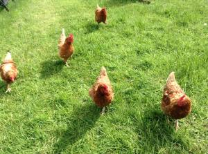 Free Range Hens - Kilternen Country Market