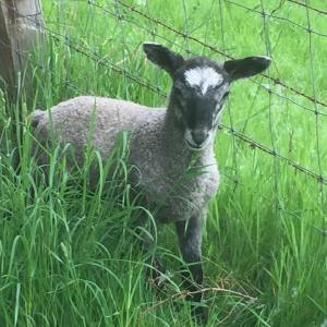 3blue faced leicester lamb